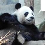 Панда – смешное животное