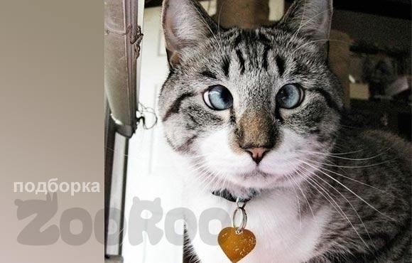 Смешной косоглазый кот Спанглс