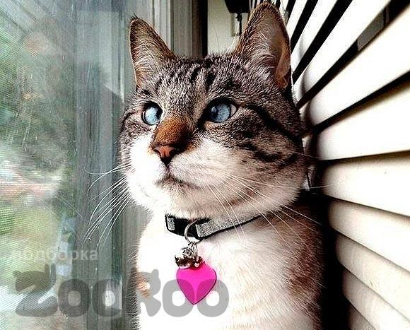 Смешной взгляд косоглазого кота спанглса