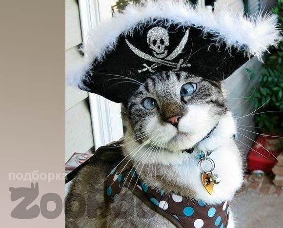 Смешной косоглазый кот Спангс позирует