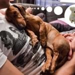 Прикольная такса спит на руках